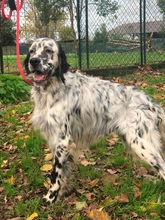 ELIOS, Hund, English Setter in Italien - Bild 3
