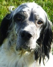 LADY, Hund, English Setter in Mühleberg - Bild 1