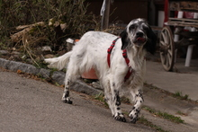 LADY, Hund, English Setter in Mühleberg - Bild 2