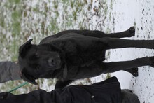 PEPSI, Hund, Labrador-Mix in Lohra-Reimershausen - Bild 2