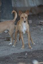 JUPITER, Hund, Podenco-Mix in Spanien - Bild 1