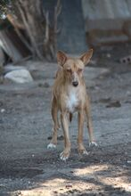 JUPITER, Hund, Podenco-Mix in Spanien - Bild 2