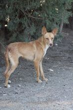JUPITER, Hund, Podenco-Mix in Spanien - Bild 3