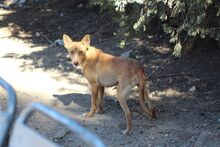 JUPITER, Hund, Podenco-Mix in Spanien - Bild 4