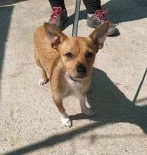BOY, Hund, Chihuahua Mix in Spanien