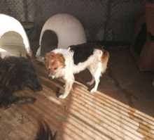 COTONELLA, Hund, Border Collie-Mix in Italien - Bild 2