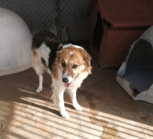 COTONELLA, Hund, Border Collie-Mix in Italien - Bild 6