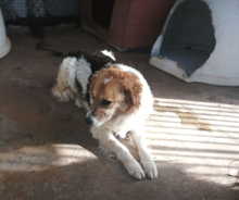 COTONELLA, Hund, Border Collie-Mix in Italien - Bild 8