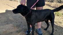NANCO, Hund, Labrador-Mix in Spanien - Bild 6
