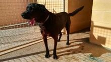 NANCO, Hund, Labrador-Mix in Spanien - Bild 9