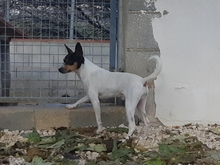 TOY, Hund, Bodeguero Andaluz-Mix in Spanien - Bild 1