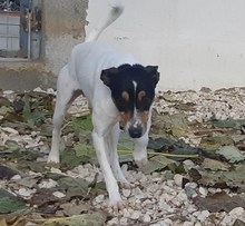 TOY, Hund, Bodeguero Andaluz-Mix in Spanien - Bild 2