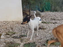 TOY, Hund, Bodeguero Andaluz-Mix in Spanien - Bild 3