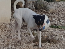 TOY, Hund, Bodeguero Andaluz-Mix in Spanien - Bild 4