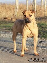 ADELLE, Hund, Shar Pei-Mix in Slowakische Republik - Bild 2