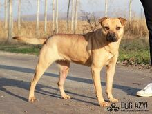 ADELLE, Hund, Shar Pei-Mix in Slowakische Republik - Bild 4
