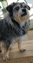 GARRET, Hund, Schnauzer-Mix in Portugal