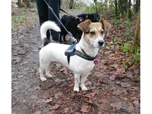 JACKIE, Hund, Jack Russell Terrier-Mix in Oberwies