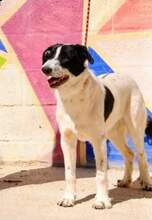 KAL, Hund, Border Collie-Mix in Spanien - Bild 10