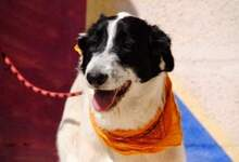 KAL, Hund, Border Collie-Mix in Spanien - Bild 11