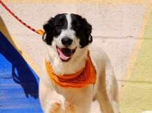 KAL, Hund, Border Collie-Mix in Spanien - Bild 4