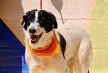 KAL, Hund, Border Collie-Mix in Spanien - Bild 5