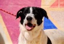 KAL, Hund, Border Collie-Mix in Spanien - Bild 7