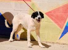 KAL, Hund, Border Collie-Mix in Spanien - Bild 8