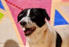 KAL, Hund, Border Collie-Mix in Spanien - Bild 9