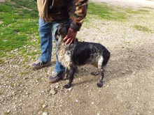 TINO, Hund, English Setter-Mix in Italien - Bild 1