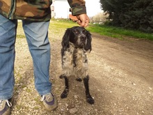 TINO, Hund, English Setter-Mix in Italien - Bild 2