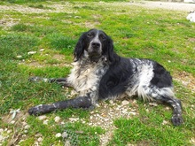 TINO, Hund, English Setter-Mix in Italien - Bild 3