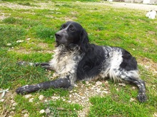 TINO, Hund, English Setter-Mix in Italien - Bild 4