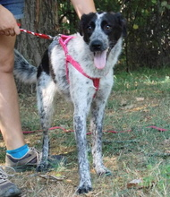 PRIMULA, Hund, Border Collie-Mix in Italien - Bild 2