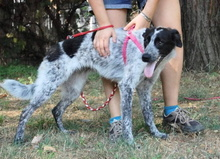 PRIMULA, Hund, Border Collie-Mix in Italien - Bild 5