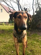 PAULO, Hund, Deutsche Bracke-Mix in Berlin