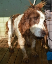 HAMLET, Hund, English Springer Spaniel-Mix in Italien - Bild 1