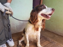 HAMLET, Hund, English Springer Spaniel-Mix in Italien - Bild 3