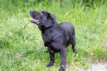 DON, Hund, Labrador-Mix in Kroatien - Bild 2
