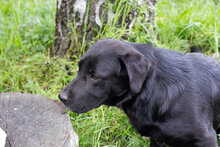 DON, Hund, Labrador-Mix in Kroatien - Bild 3