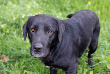 DON, Hund, Labrador-Mix in Kroatien - Bild 4