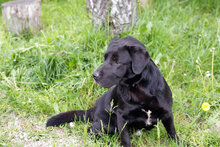 DON, Hund, Labrador-Mix in Kroatien - Bild 5
