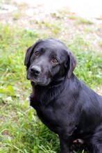 DON, Hund, Labrador-Mix in Kroatien - Bild 6