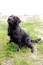 DON, Hund, Labrador-Mix in Kroatien - Bild 7