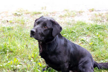 DON, Hund, Labrador-Mix in Kroatien - Bild 8