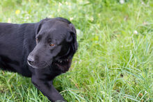 DON, Hund, Labrador-Mix in Kroatien - Bild 9