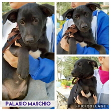 PALASIO, Hund, Border Collie-Mix in Italien - Bild 3