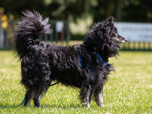 ZIP, Hund, Spitz-Collie-Mix in Kroatien - Bild 2