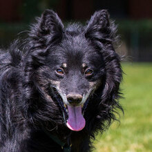 ZIP, Hund, Spitz-Collie-Mix in Kroatien - Bild 3