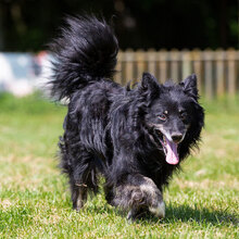 ZIP, Hund, Spitz-Collie-Mix in Kroatien - Bild 5